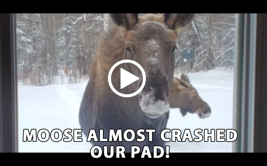 Moose Miracle!